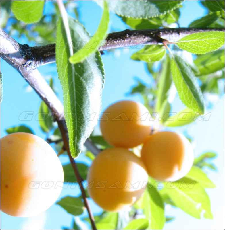 Плоды жёлтой алычи для настойки на самогоне